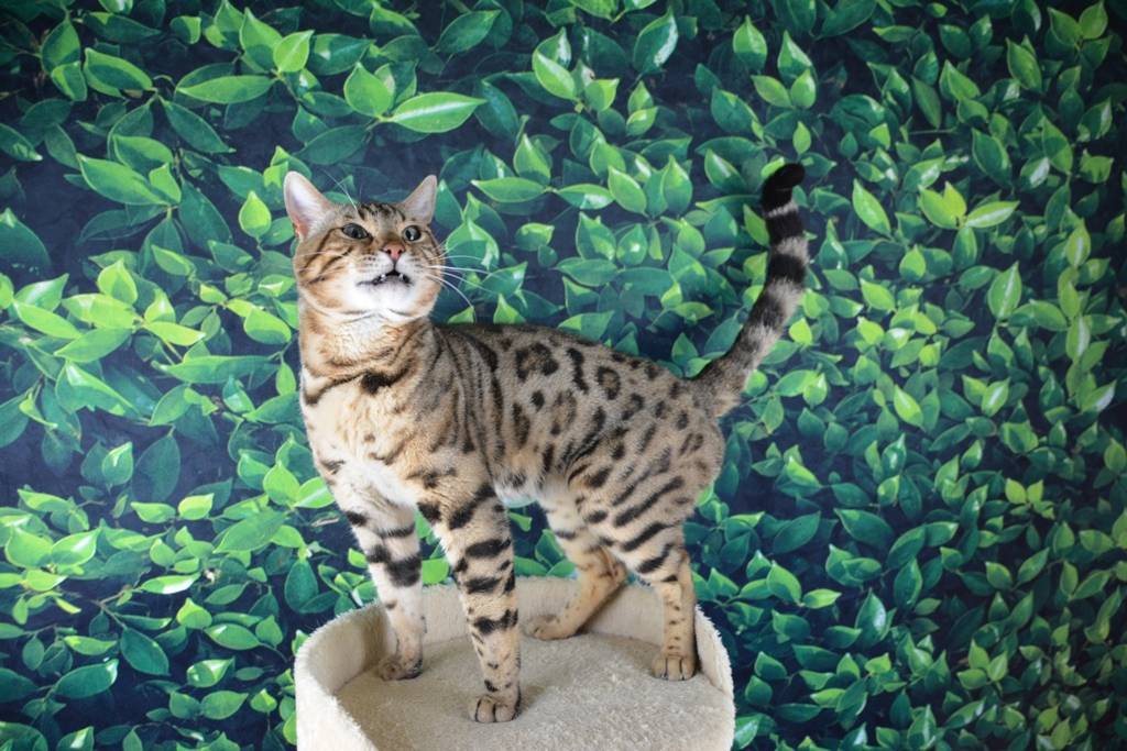 Available Bengal Adults - Royal Bengal Cattery - Bengal Cats